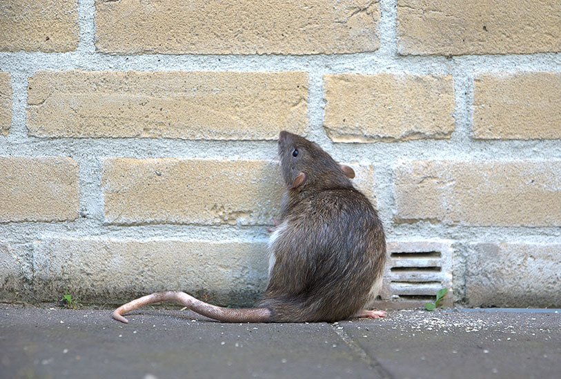 Rodent Control Services by 5 Star Pest Control & Cabin Care in Grand Rapids, MN