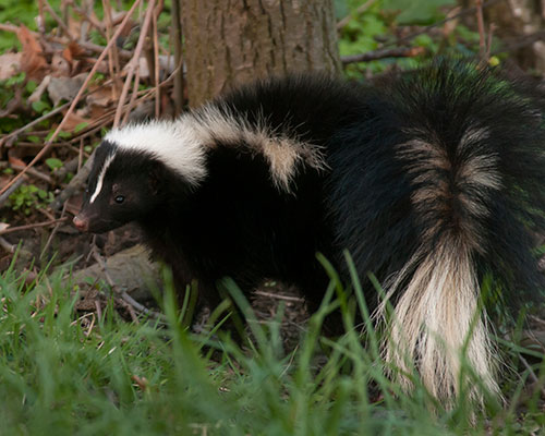 skunk-removal-service